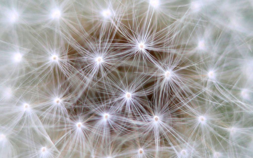 macro dandelion seed head - Acquired Language of Thought research project
