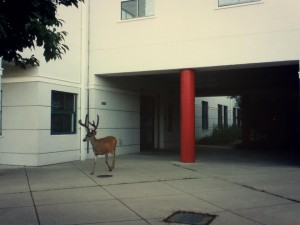 Deer on the UCSC campus. Or am I just a Boltzmann brain imagining that?