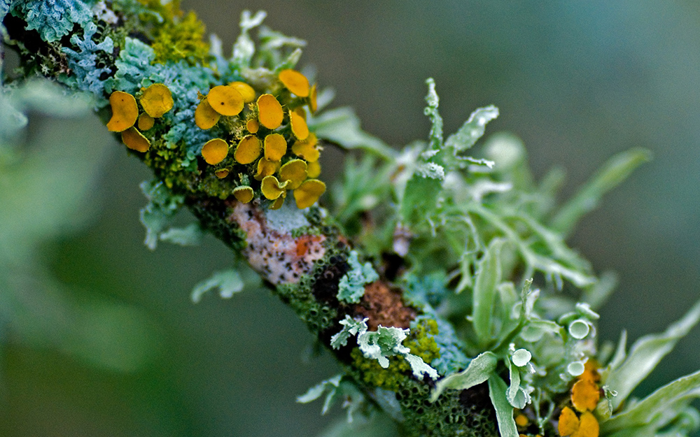lichen on a branch