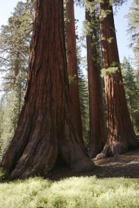 Californian redwood trees
